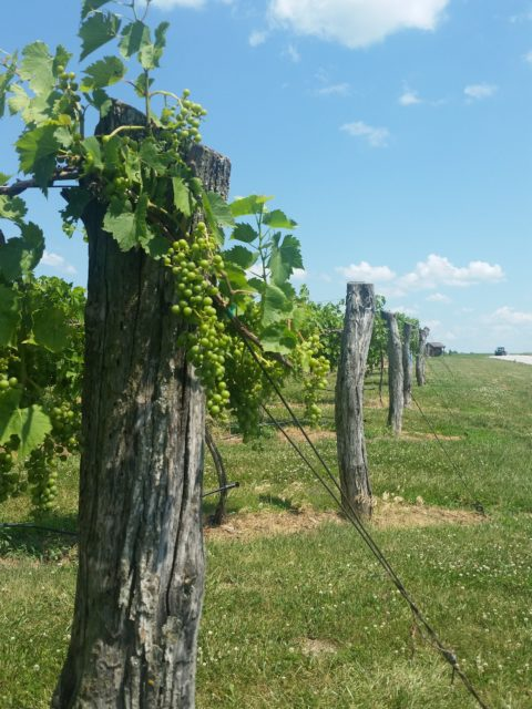 Kansas City Wine Trail - La Bella Vineyards & Winery - Missouri wine grapes
