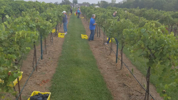 Chambourcin Wine Harvest Volunteers at Rowe Ridge Vineyard & Winery by Impeccably Paired