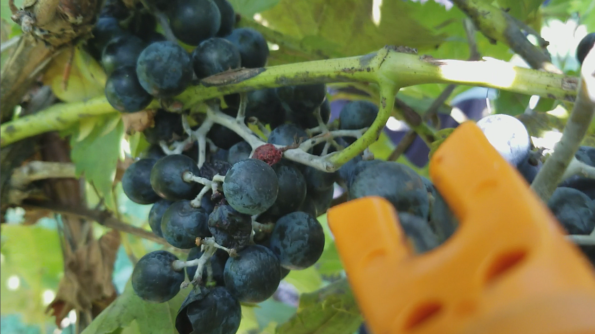 Chambourcin Wine Harvest at the Rowe Ridge Family Farm by Impeccably Paired